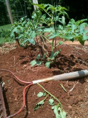 a rake lies in on the red clay in front of the tomato plant