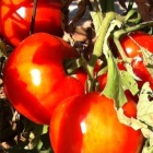 4 red tomatoes on the vine