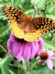 a brown speckled buckeye butterfly on a pink coneflower
