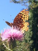 butterflyonthistle